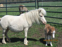 4 Miniature Horses: 2 mares, unrel. stallion and new foal