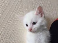 Beautiful fluffy white kitten( only 1 left)