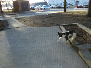 2 WHITE & BLACK KITTEN or SMALL CATS Found
