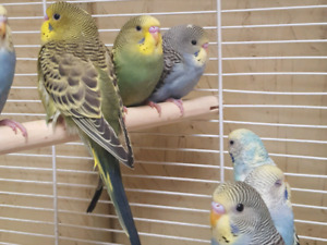 2 budgies with new cage