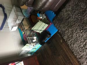 2 adorable guinea pigs