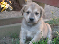 Beautiful Mastiff, Malamute, Golden lab cross