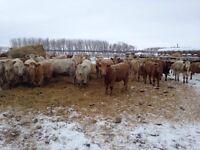 Open Char Heifers