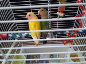 A Pairs of Love Birds for sale