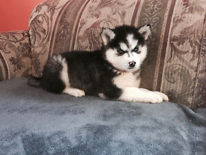 Siberian Husky Puppies (blue eyes)