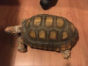 Adult Female Tortoise