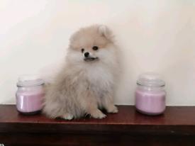 Pomeranian female puppy for sale