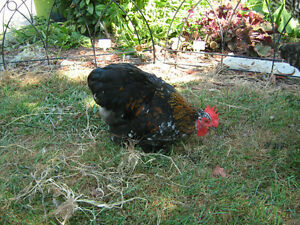 Bantam Cochin Rooster.