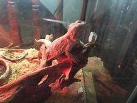 Breaded dragon and tank