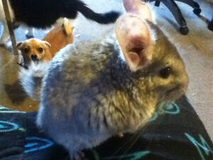 Chinchillas for sale!