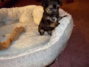 Beautiful Male Bichon/Yorkie Puppy Ready March 4