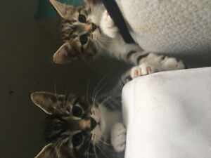 Free kittens ready to go.  Litter trained and eating kibble.