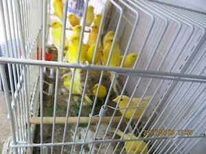 A big choice of Canaries for sale very nice and Healthy birds