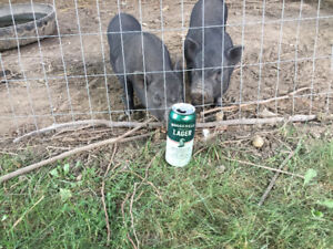 Mini Pig for sale