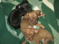 CHIHUAHUA MALES AVAILABLE/Price Reduced This Weekend-$450