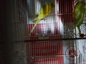 Pair of budgie for sale