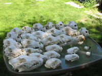 Skulls for sale or trade
