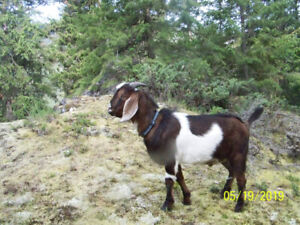 Young Handsome Nubian/Toggenburg Billy for Sale