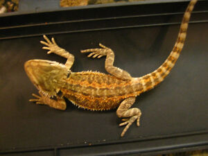 BEAUTIFUL BEARDED DRAGONS ON SPECIAL $80.00