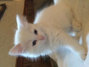 Eight week old… Pure white kittens… Blue eyes