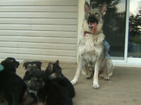 Purebred German Shepherd pupptes for sale