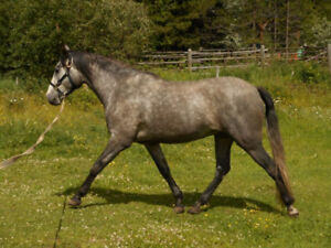 Maximus del Bosque - 5 Year Old Reg'd Andalusian Gelding