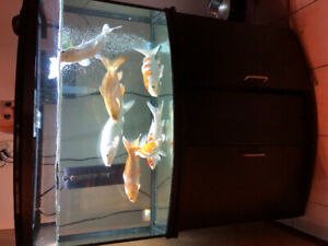 7 Koi fish rehoming, fish tank and all accessories are included
