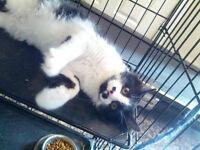 2 Black and white mix kittens for sale