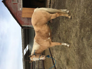 12 year old APHA mare