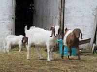 Boer goats for sale. Herd reduction.