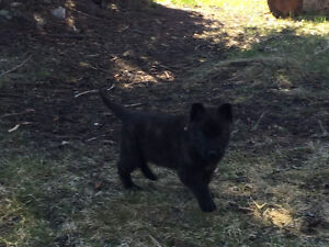 Dutch shepherd pups