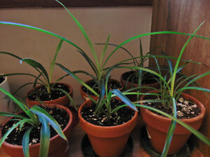 Aloe Vera and Spider Plants for sale $5 each
