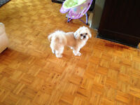 Need a loving home for young shih tzu