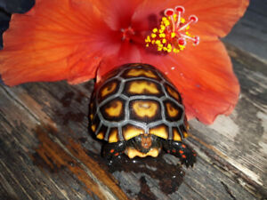 Cherry Head Red Foot Tortoise babies-Ready to go