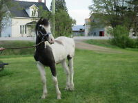 Cheval, poulain American Bashkir Curly