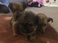 3 gorgeous chihuahua puppys