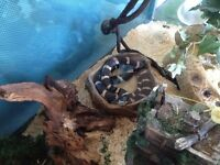 California King Snake in need of a new home!!
