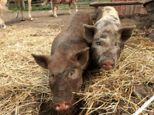 Tamworth cros Pig mom with 2 of her fixed boys spring litter