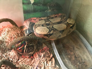 Red tail boa for rehoming.