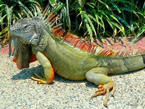 (WANTED) Baby Green Iguanas