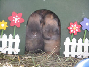2 Gentle bunnies with cage and accessories