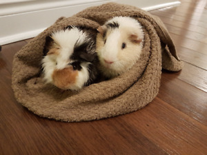 2 Male Guinea Pigs with Cage, Bottle, Toys