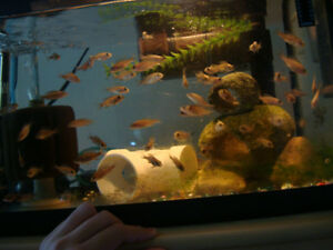 Electric Blue Ahli Cichlids for sale