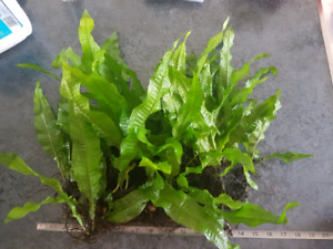 Huge live  java fern fish aquarium plant