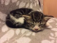 Beautiful Black White Grey Markings Female Kitten looking for Loving New Home