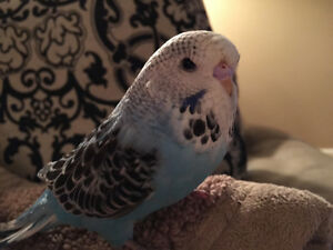 Blue Budgie - Lost in Sydenham area in Dundas, ON