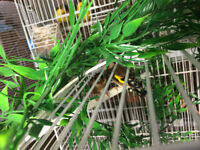 DOWNSIZING!!! BREEDING EUROPEAN GOLDFINCHES FOR SALE!