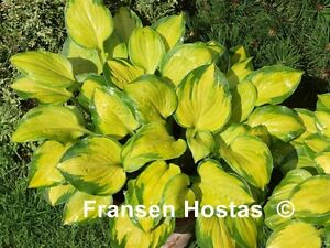 Hosta Wylde Green Cream - Hostas en pot -