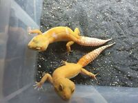 Various Leopard gecko morphs ~ good selection