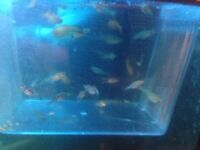 20 MIXED GUPPY PLATY MOLLY AND SWORDTAIL BABIES !!!!